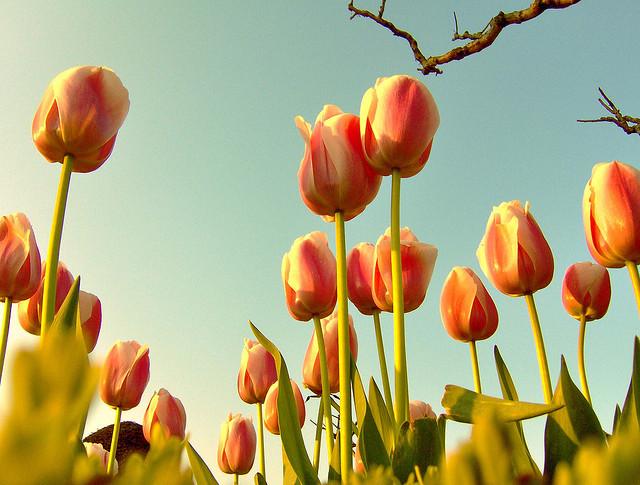 Tulips Women's day