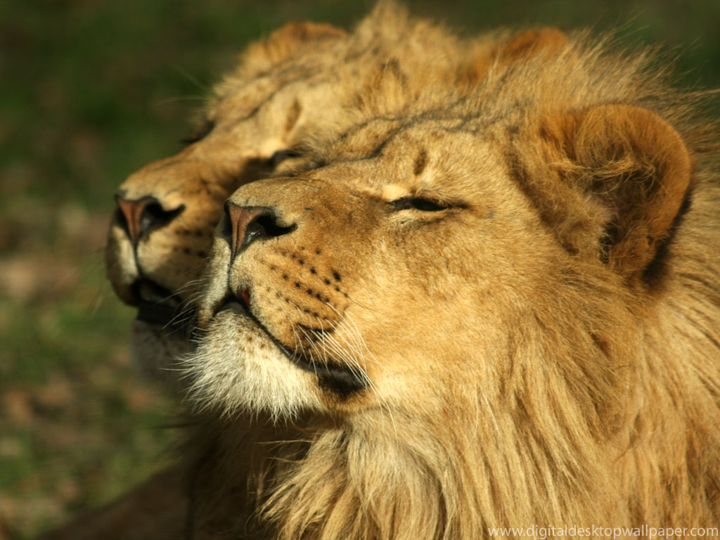 Best Wallpaper High Resolution Animal - lions-008  Perfect Image Reference_87789.jpg