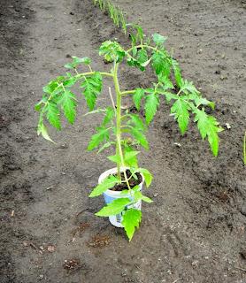 24.05. Этот помидор две недели назад случайно был сломан под корень, открытый перелом. Закрепил его колышком, и он прирос, дал новые корешки. Только сбросил нижние листья.