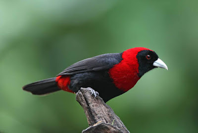 Crimson-collared Tanager Range Crimson-collared Tanager