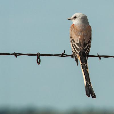 Scissor-tailed Flycatcher, Winscott Plover Road