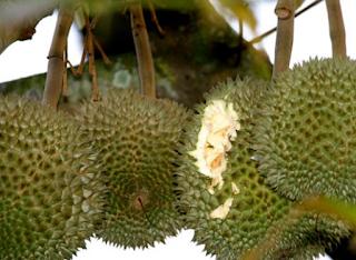 Pohon Durian | Cara dan Teknik Menanam Durian di Pot agar Cepat Berbuah
