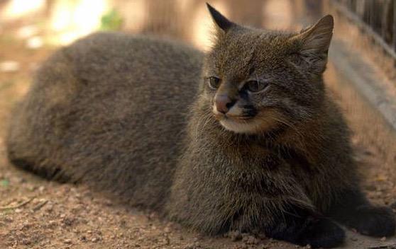 21 Spesies Kucing yang Anda Tidak Pernah Liha