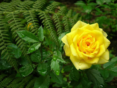 Las mejores im genes vistas en internet 2013 08 04 - Significado rosas amarillas ...