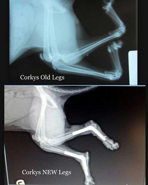 Ноги кота Корки до и после операции - двусторонний артрогрипоз