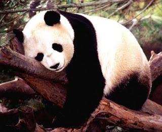 Oso Panda gigante durmiendo