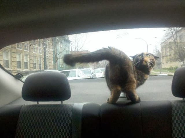 Funny cats - part 78 (35 pics + 10 gifs), cat pics, cat playing in car