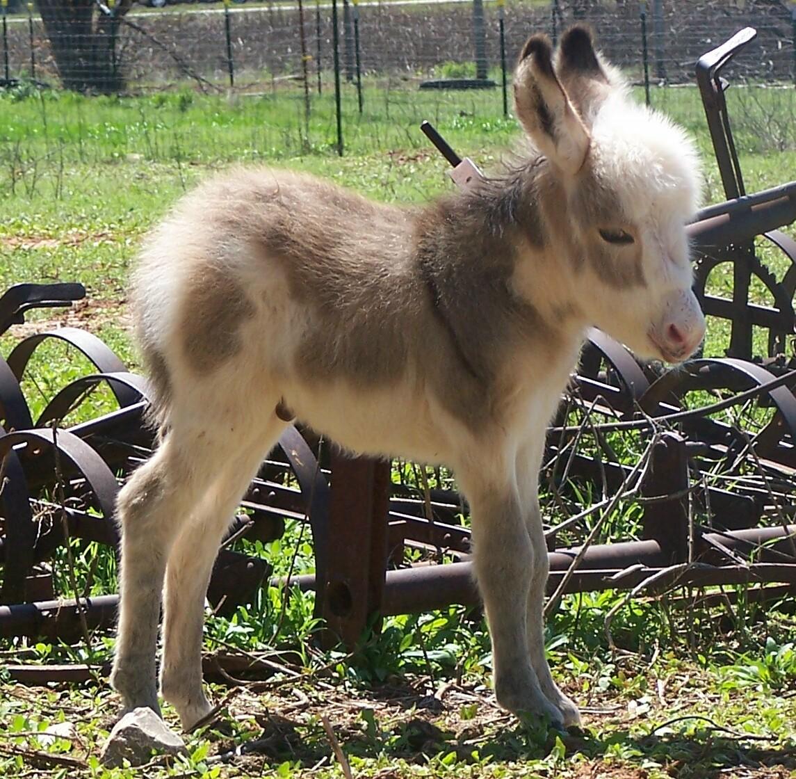 http://3.bp.blogspot.com/-tYfo9eeBf3A/TnX443ECjOI/AAAAAAAADcw/_qC4PmwienM/s1600/Picture_7244-Baby_Donkey_4-02-2007.jpg