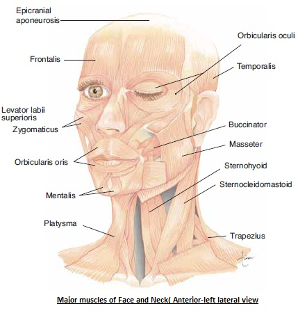 The Human Body: MAJOR MUSCLES OF HEAD AND NECK