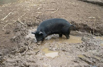 Pig in Mud Pit