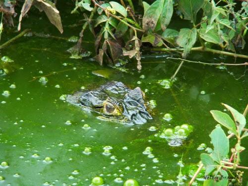 Crocodilo com apenas os olhos de fora da água em um pântano