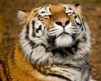Η τίγρις της Σουμάτρας…