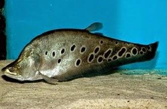 Ikan Belida atau Ikan Belido