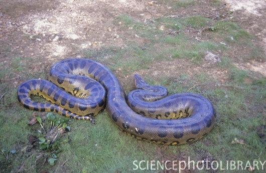 Real anaconda in amazon - photo#25