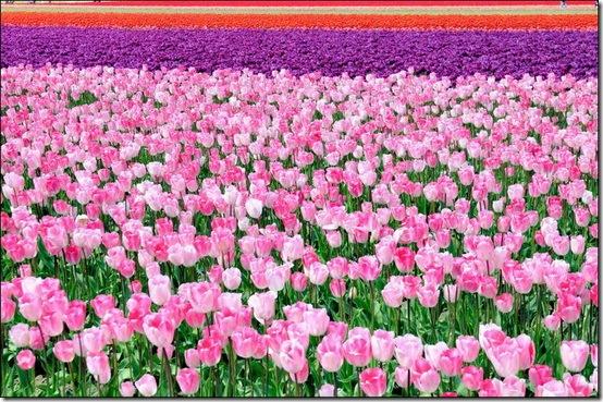 ... :)): Melihat Keindahan Kebun Bunga Tulip Di Belanda Saat Musim Panen