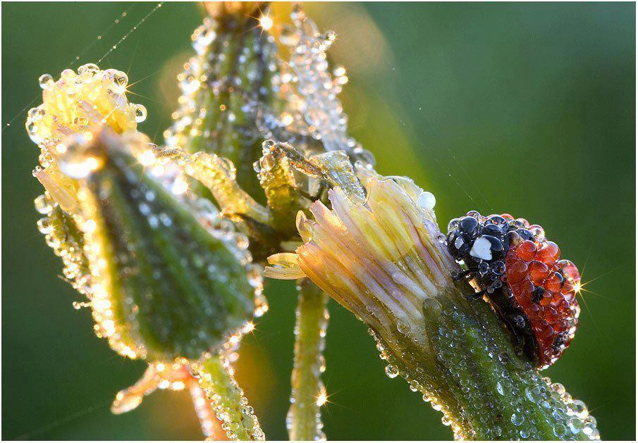 lady bug dew