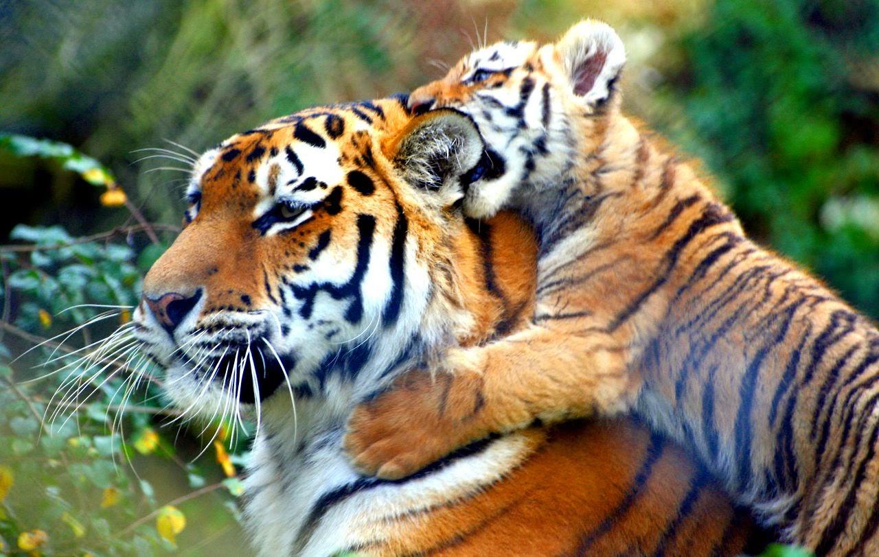 tigrinho pentelhando a mamãe