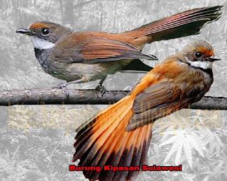 Burung Kopi Kopi