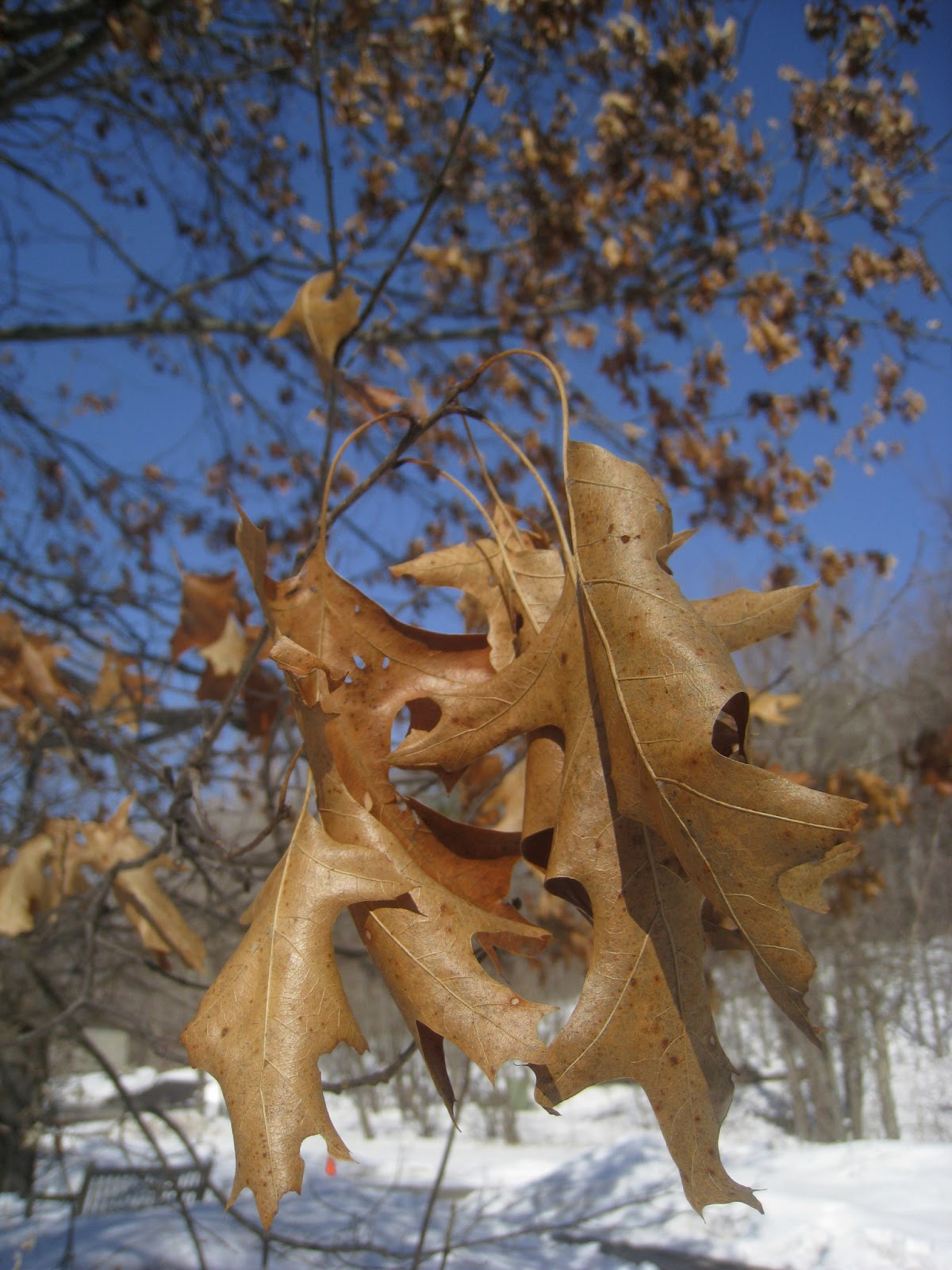 distracted naturalist when do red oak leaves drop