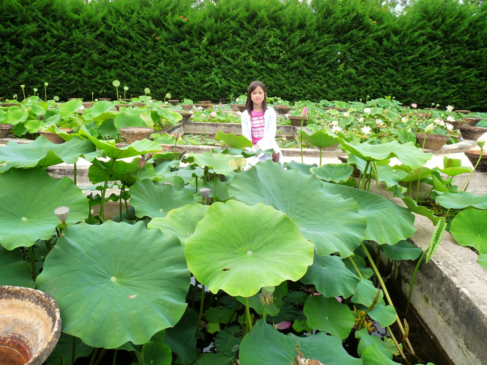 A visit to latour marliac 33 i need to grow more lotus a some young plants arguably for sale izmirmasajfo