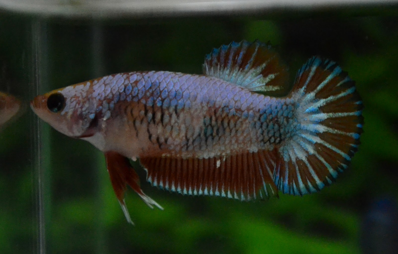 Betta fish afira new sept female all sold out for All about betta fish