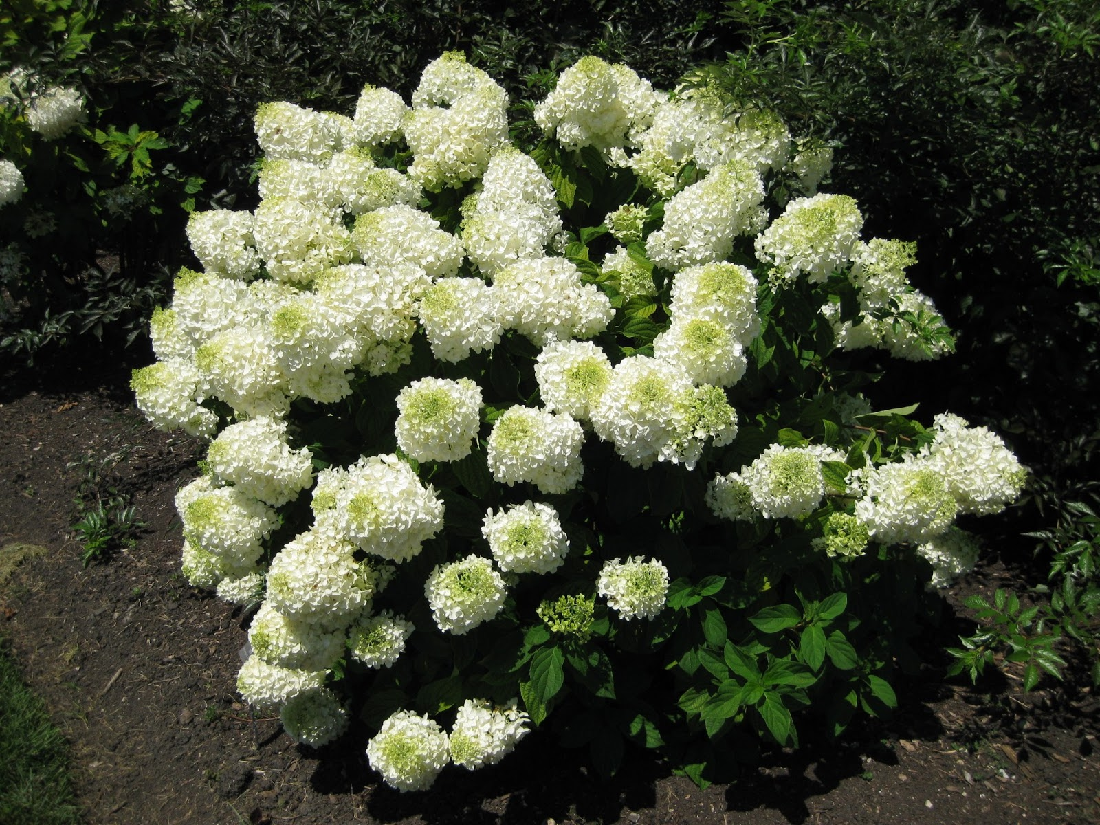 Rotary Botanical Gardens - Hort Blog: Panicled Hydrangeas For A Landscape Punch