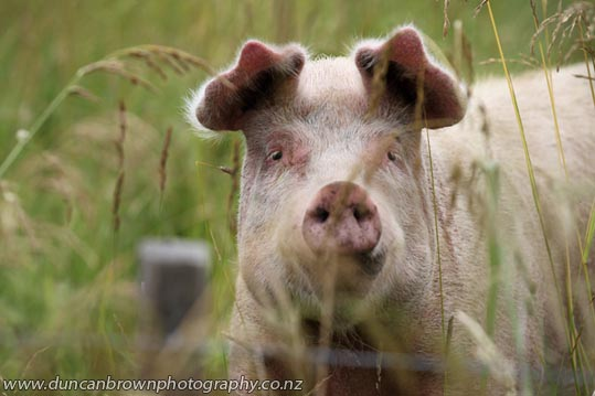 My World - Pig in Waipawa photograph
