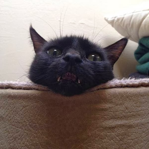 Funny cats - part 87 (40 pics + 10 gifs), cat with long tusk makes him look like a vampire