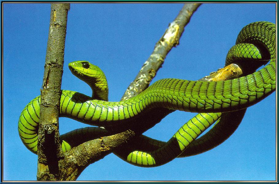 I dieci serpenti velenosi pi grandi del mondo for Veleno per serpenti