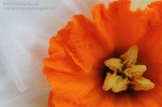 photo-macro-narcisse-jonquille-coeur-etamine-pistil-printemps-nature-orange-blanc