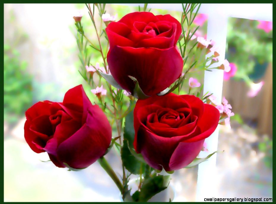 Only Red Roses High Quality Wallpapers  Infotainment