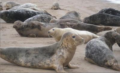 Focas en manada en la playa