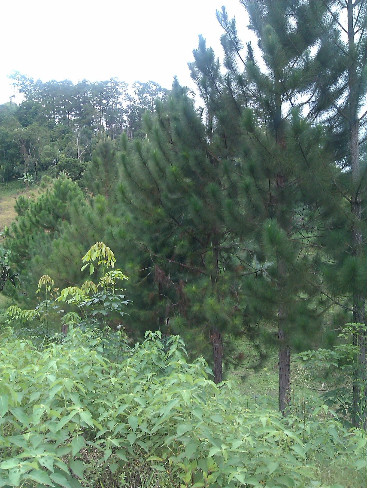 Bukidnon development for community and partnership realty for Mature pine trees