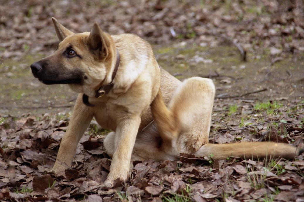 Как убрать блох у собаки в домашних условиях