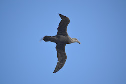 Adult Petrels soaring above us