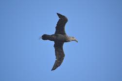 Adult Petrels soaring above us
