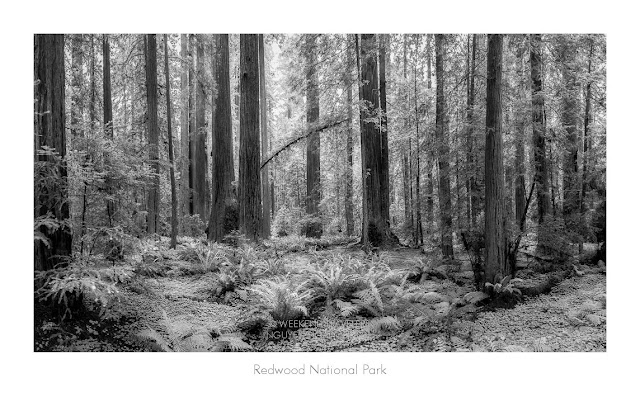 redwood forest panoramic view