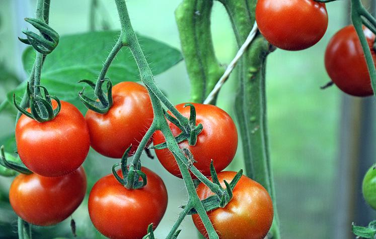 Tomat Garderner's Delight