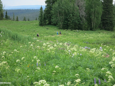 wildflowers, Rabbit Ears Pass Trail, Colorado early July 2015