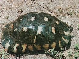 la tortuga marginata