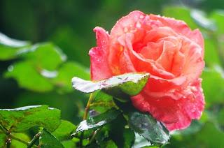 Luarca, Jardines de la Fonte Baixa, rosa
