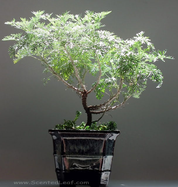 Artemisia Powis Castle bonsai (dwarf wormwood)