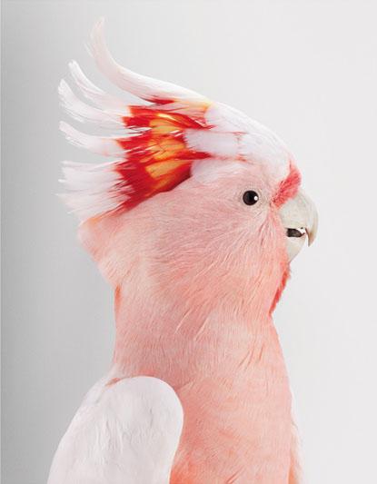 Biloela, Wild Cockatoos, loro, parrot, Leila Jeffreys, photographs, photos, fotos