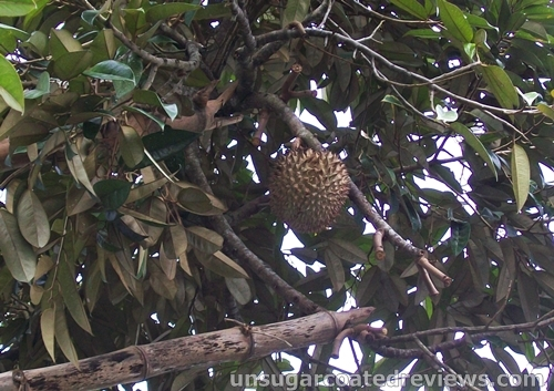 durian fruit hanging from a tree