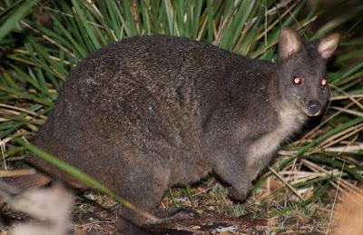 Tasmanian Pademelon (Thylogale billardierii)