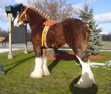 stallion, clydesdale stallion, clydesdale, horse for sale, clydesdale breeders