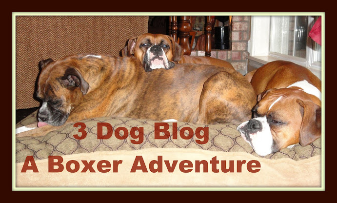3 Dog Blog--A Boxer Adventure