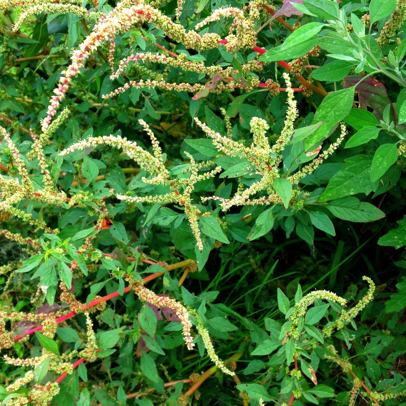 spiny amaranth amranthus spinosus