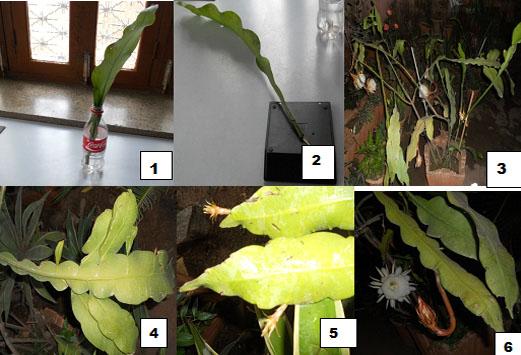 Indian Botanists: Epiphyllum oxypetallum (Brahmakamal) : Orchid