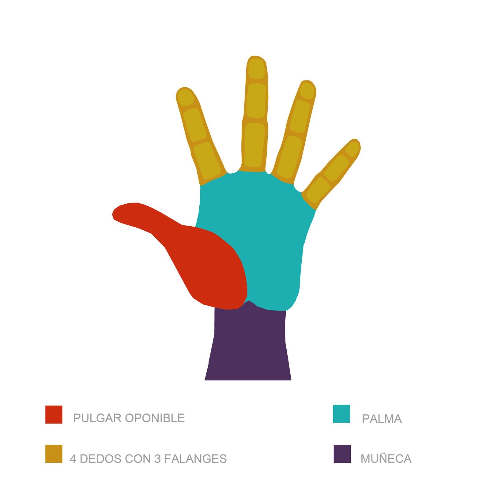 pulgar, cuatro dedos, palma, muñeca, infografia